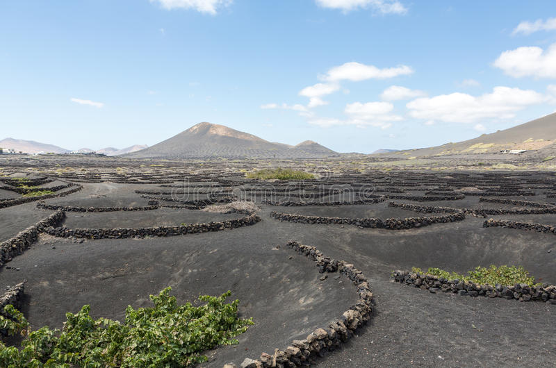 Vineyard on black volcanic soil in La Geria area. Lanzarote.Canary Islands.Spain royalty free stock photo