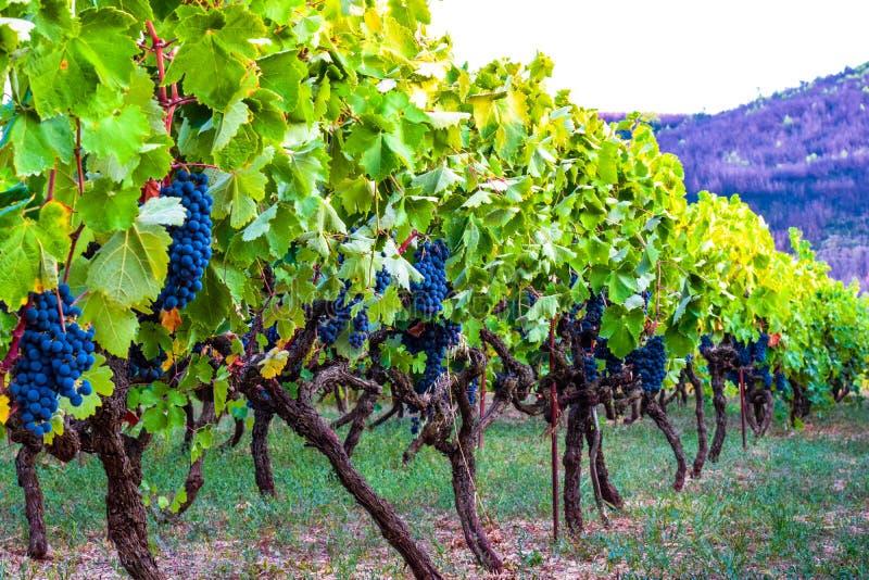 Vineyard of blue grapes royalty free stock photo