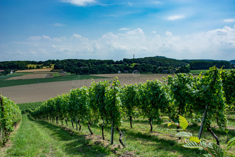 Vineyard with blue sky royalty free stock images