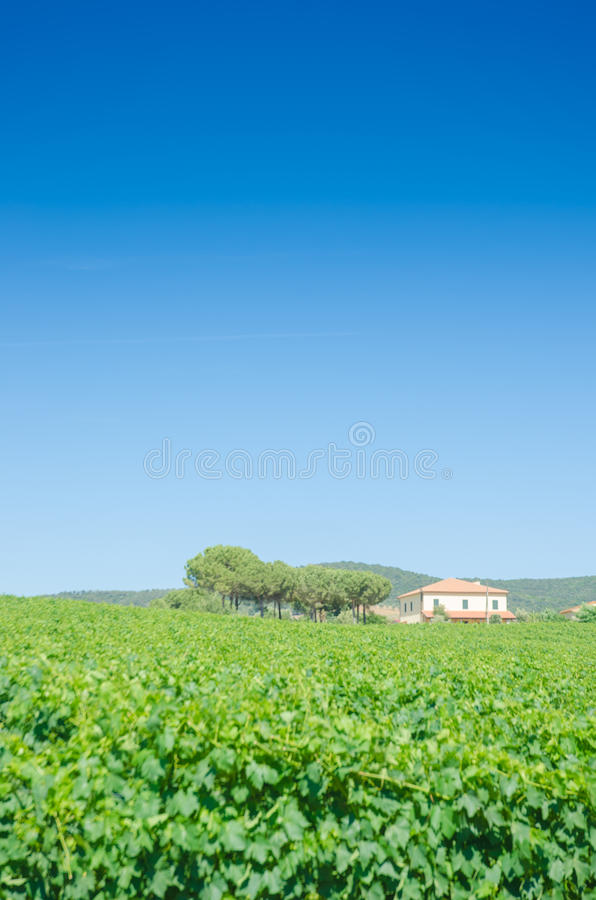 Vineyard on a bright day stock image