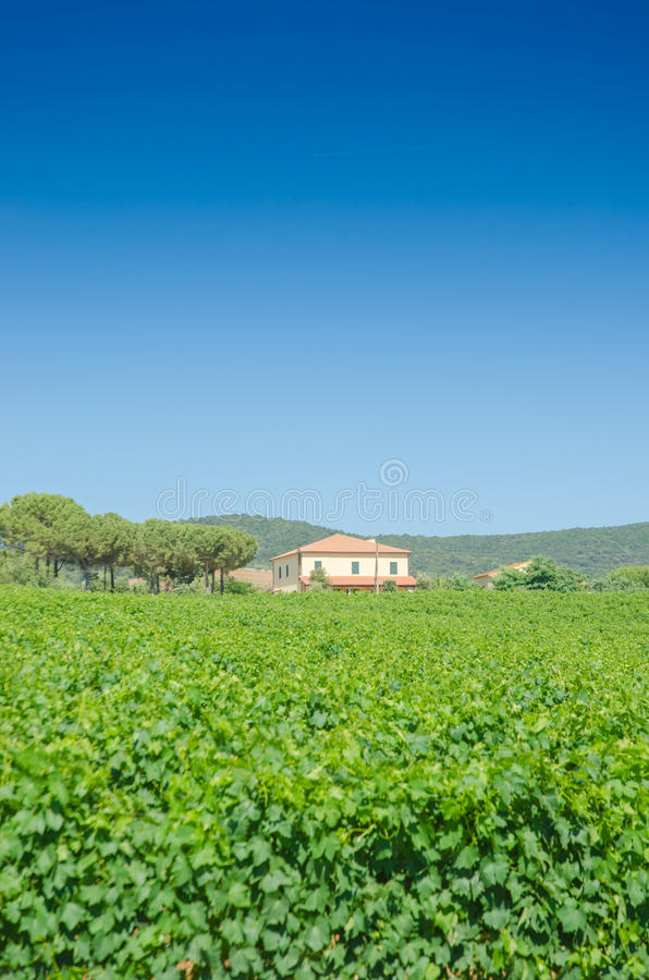 Vineyard on a bright day stock photography