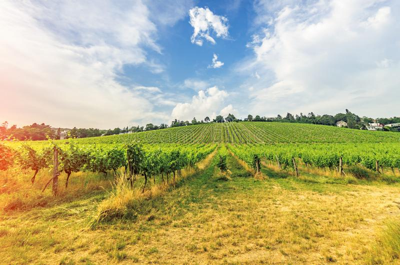 Vineyard on bright summer day under blue sky with white clouds in Vienna Austria stock image