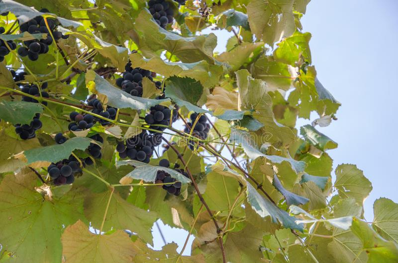 Vineyard with bunches of red grapes against a blue sky royalty free stock photo