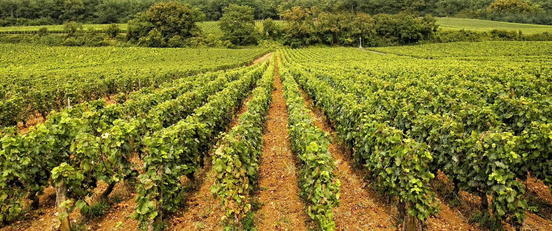 Vineyard In Burgundy Royalty Free Stock Photography