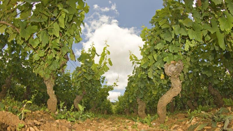 Download Vineyard In Burgundy, Bourgogne. France Stock Image - Image: 26557423