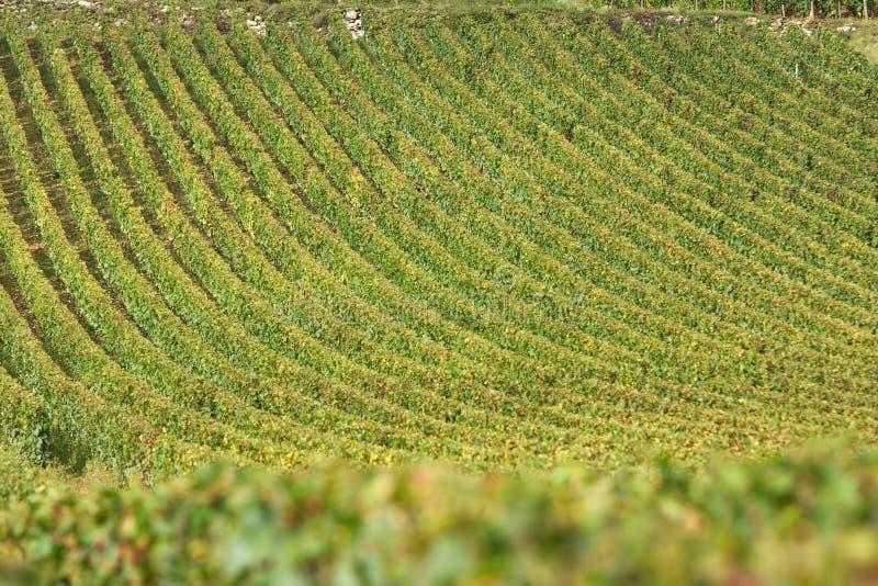 Vineyard In Burgundy, France Royalty Free Stock Photo