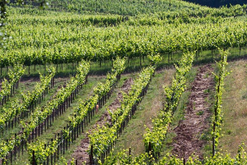 Vineyard in California stock photos