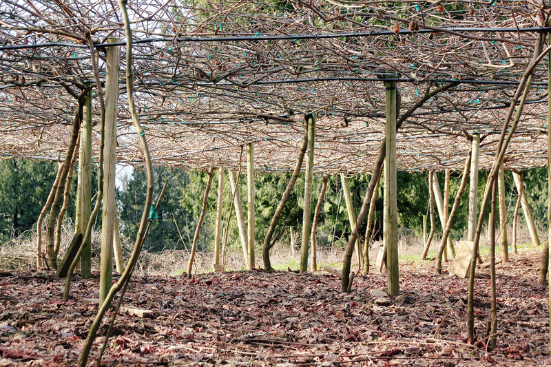 Download Vineyard Canopy or Trellis stock photo. Image of bare - 51443832 & Vineyard Canopy or Trellis stock photo. Image of bare - 51443832