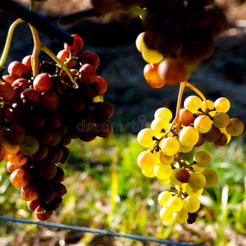 Download Vineyard In Cape Cod, Massachusettes Stock Photo - Image: 7925808
