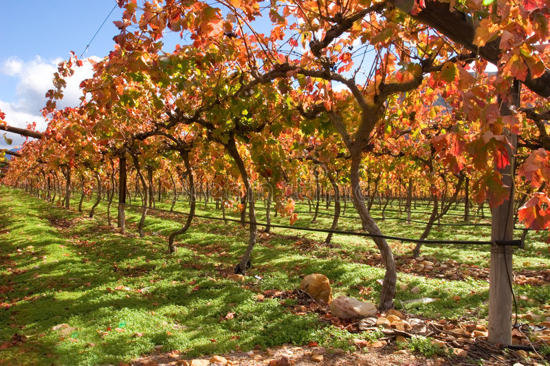Vineyard, Cape Town area, South Africa stock image