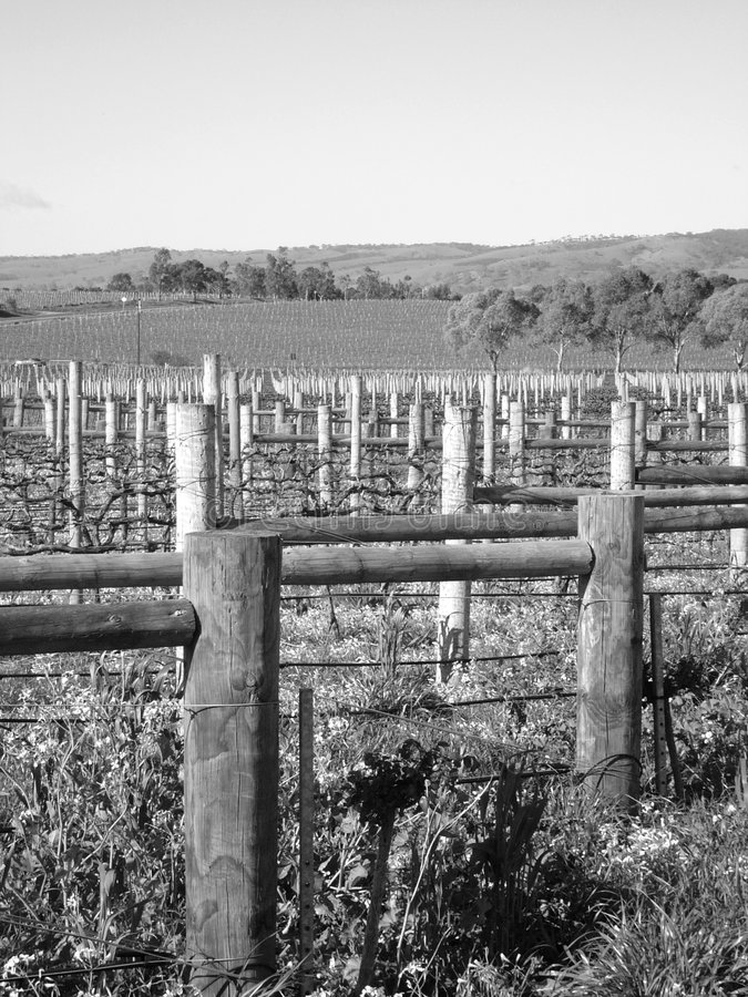 Vineyard in countryside. Black and white scenic view of vineyard in countryside, Leconfield Winery, McLaren Vale, South Australia stock photo