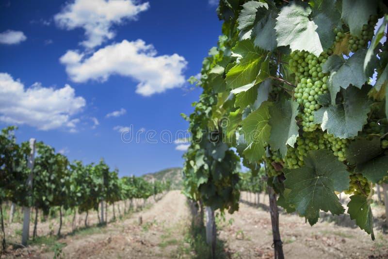 Vineyard in Crimea. (Ukraine) near mountains (polarizer filter royalty free stock image