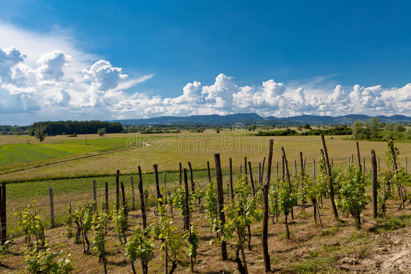 Vineyard in Croatia royalty free stock photos