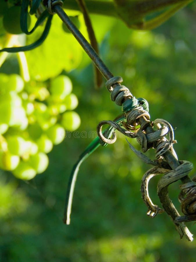 Vineyard detail royalty free stock photos