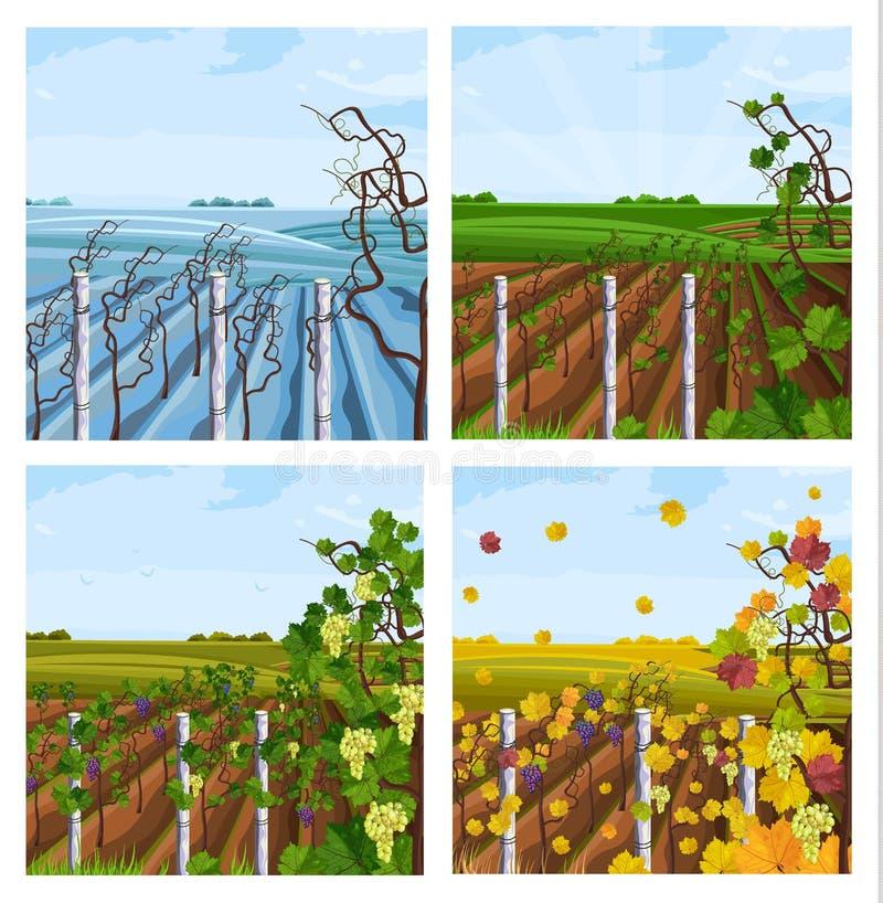 Vineyard different season set collection Vector decor. Vineyard different season set collection Vector illustration royalty free illustration