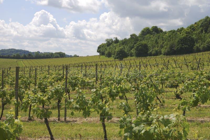 Vineyard At Dorking. Surrey. England Stock Photos