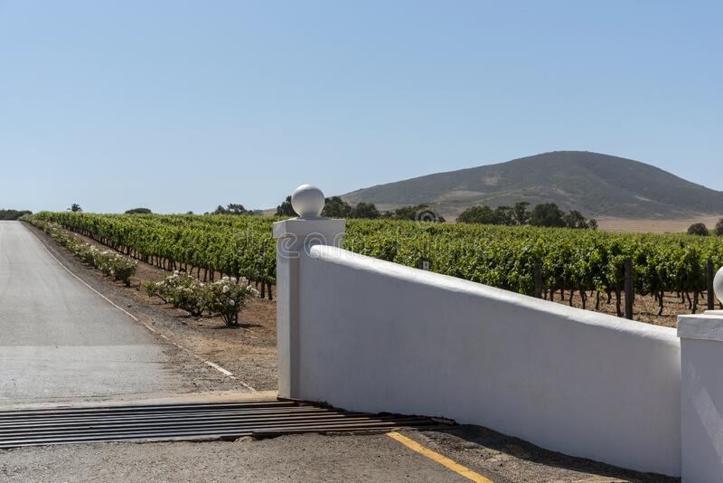 Vineyard and the Durbanville Hills in the Western Cape, South Africa. Durbanville, Cape Town, South Africa. Dec 2019.  Grapes on vines in the Durbanville wine stock photo