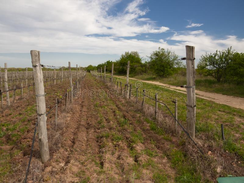 Vineyard early in the spring in the begining of the year.  royalty free stock photo
