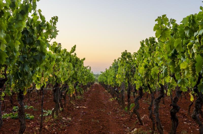 Download Vineyard stock photo. Image of beautiful, fruit, green - 33068054