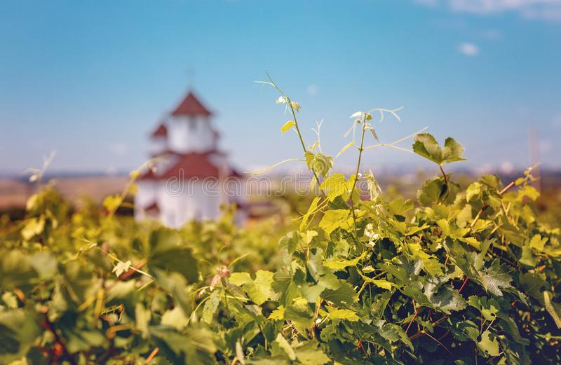 Vineyard with an Eastern Orthodox Church in blurred background royalty free stock photos