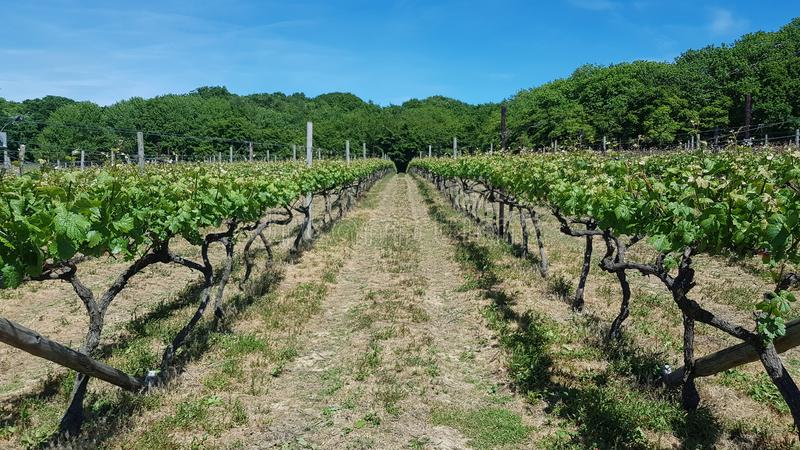 Vineyard in England. Vineyard in the Weald in Kent in England. Early summer vines. Rows of grapevines in an English vineyard. royalty free stock images