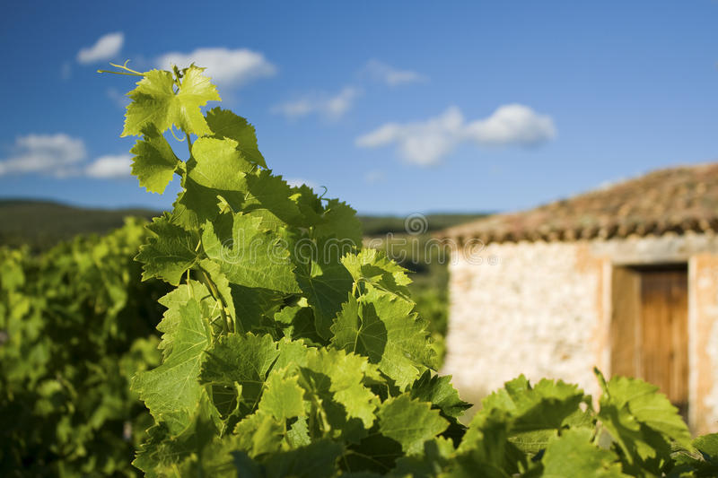 Download Vineyard with Farmhouse stock image. Image of plant, nature - 21735899