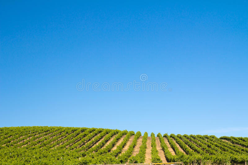 Download Vineyard field stock photo. Image of season, cultivated - 26085836