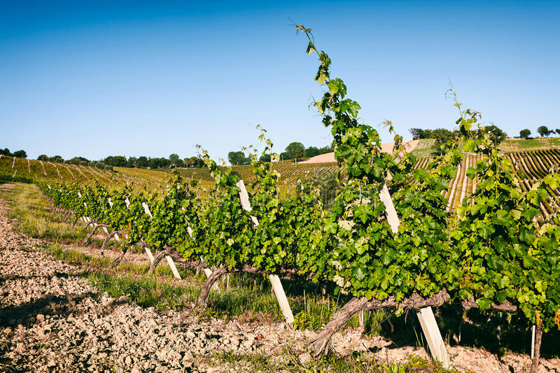 Vineyard fields in Marche, Italy royalty free stock photo