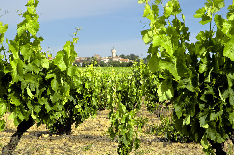 Download Vineyard in France stock photo. Image of ground, plant - 5811872