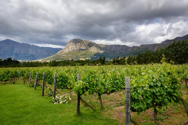 Vineyard in Franschhoek Winelands valley in South Africa stock images