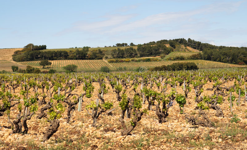 Vineyard in the French Provence stock photography