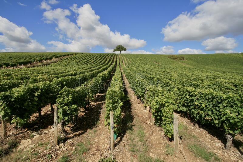 Vineyard Gaillac royalty free stock images