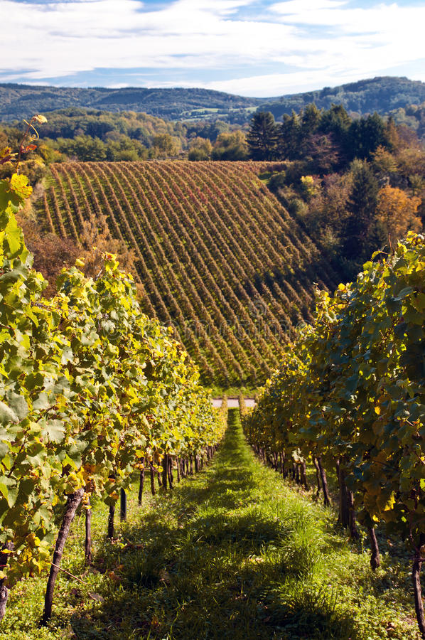 Download Vineyard in Germany stock photo. Image of hills, scenic - 16768338