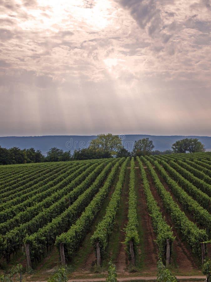 Vineyard in God's garden stock photography