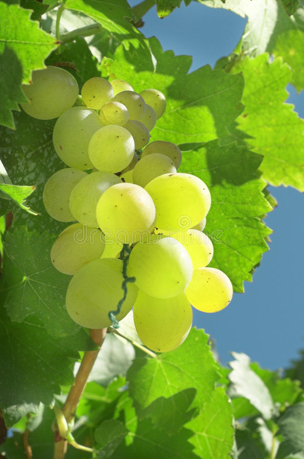 Free Vineyard Grape Royalty Free Stock Images - 3023539