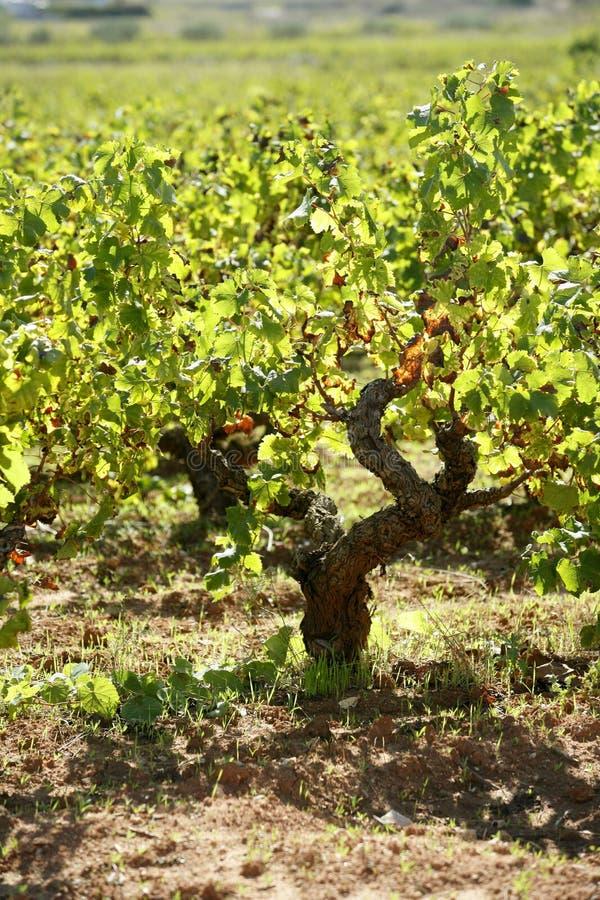 Download Vineyard, Grape Fields In Mediterranean Spain Stock Photo - Image: 7726736
