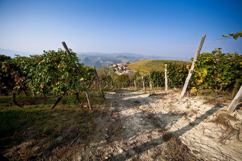 Download Vineyard, grape harvest. stock photo. Image of foliage - 22004962