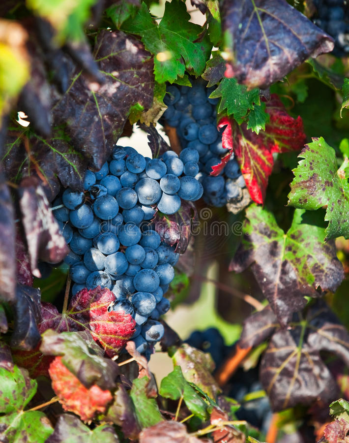 Vineyard, Grape Harvest In Asti, Piedmont, Italy. Royalty Free Stock Image