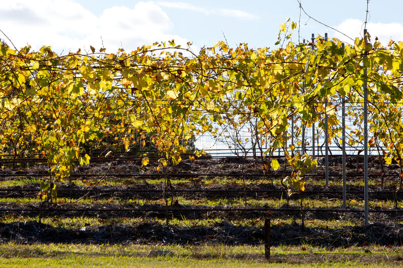 Vineyard grape vines in Autumn-Winter back lit by afternoon sun stock photos