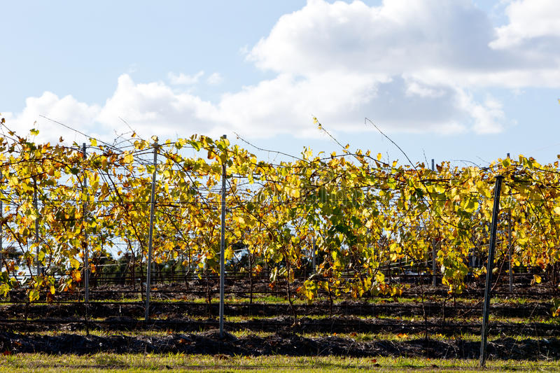 Vineyard grape vines in Autumn-Winter back lit by afternoon sun stock photo