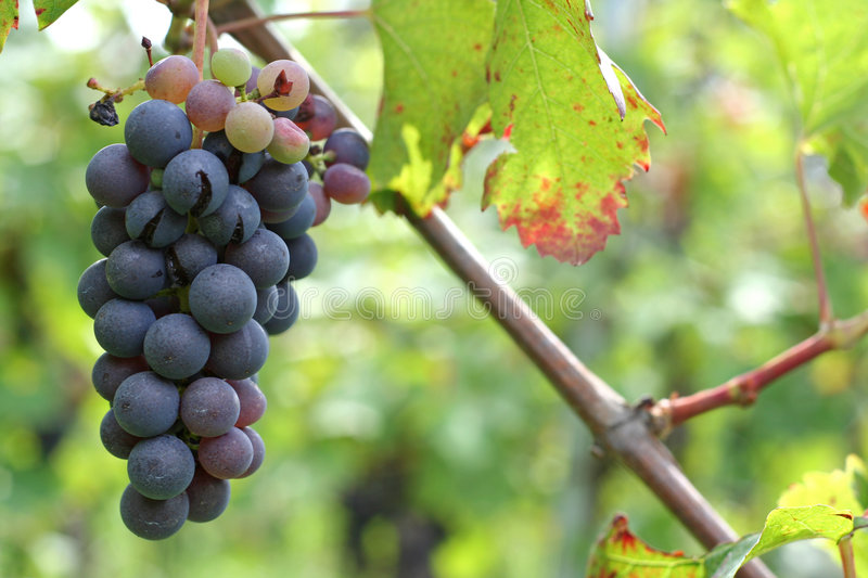 Vineyard and grapes royalty free stock images