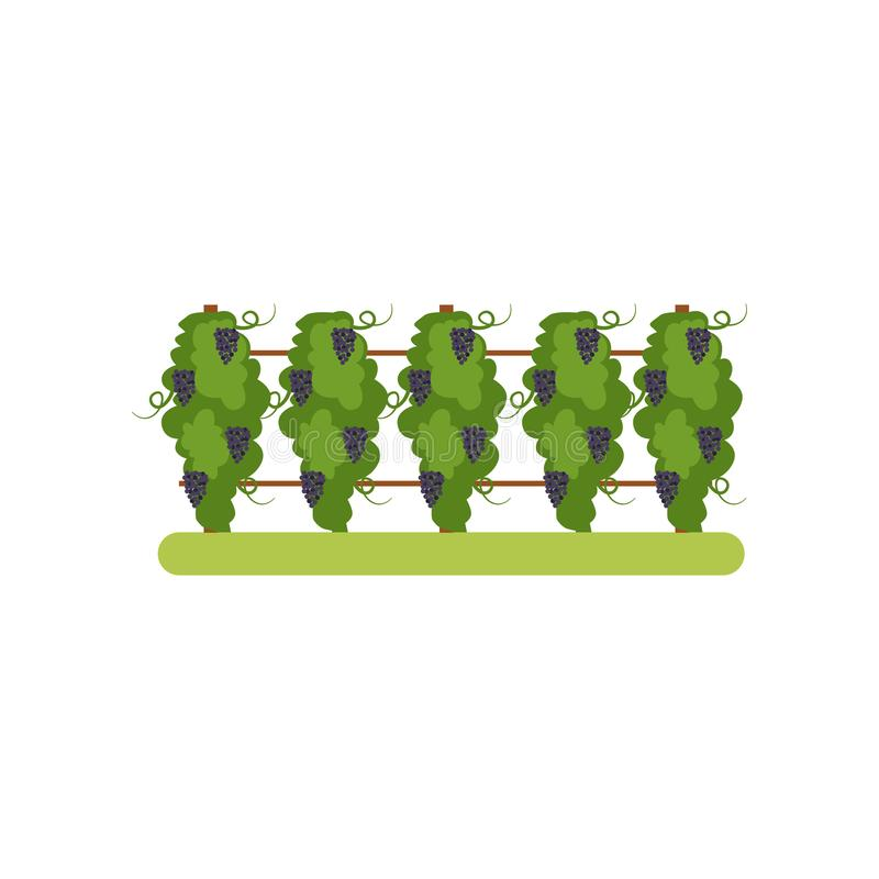 Vineyard with grapes bunches, grape plantation vector Illustration on a white background stock illustration