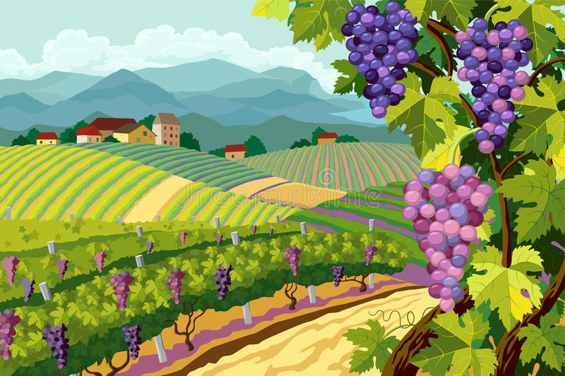 Vineyard and grapes bunches. Rural landscape with vineyard and grapes bunches stock illustration