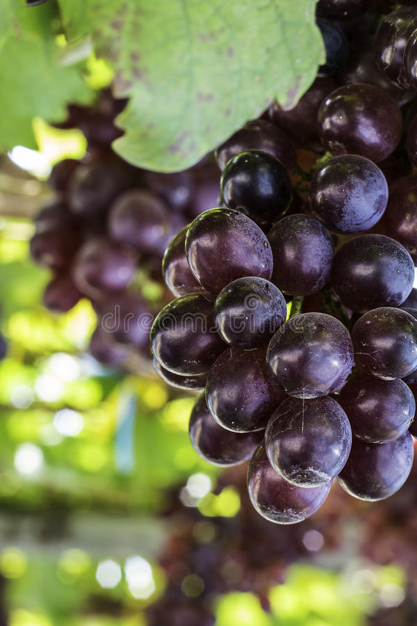 Vineyard grapes stock image