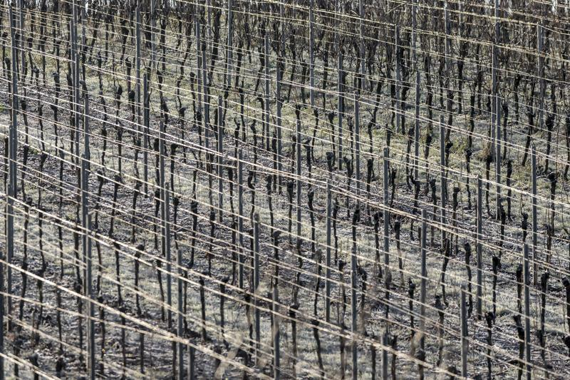 Vineyard with grapevines rows in frost with shiny wire ropes frame-filling royalty free stock photography