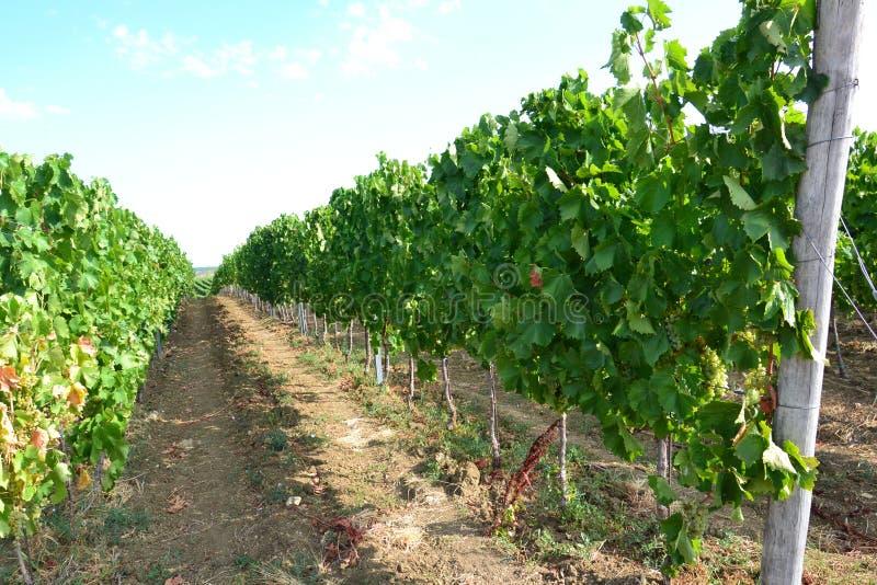 Vineyard grounds
