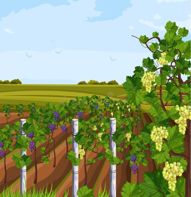 Vineyard growing harvest Vector. Beautiful summer backgrounds royalty free illustration