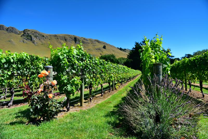 A vineyard in Hastings, New Zealand. A vineyard in Hastings, Hawkes Bay in New Zealand stock photo