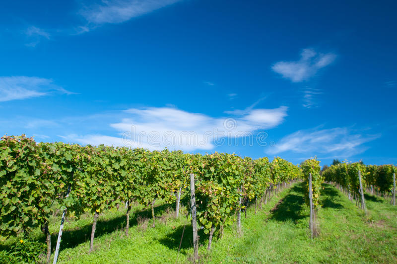 Vineyard in Hessen Germany royalty free stock photos