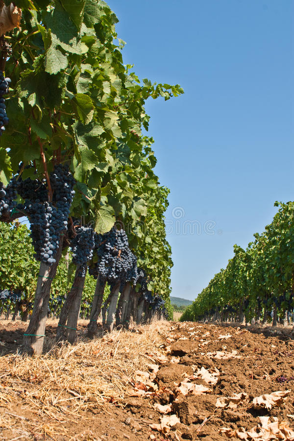 Vineyard in Hungary stock photos